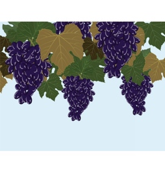 Red Grapes clusters vector image vector image