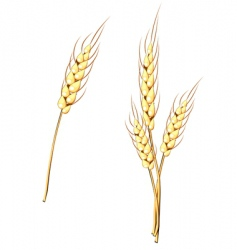 wheat stem vector image
