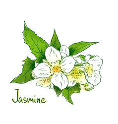 Flowers of a jasmine Sketch with watercolor imitat vector image