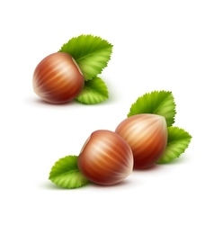 Full unpeeled realistic hazelnuts with leaves vector