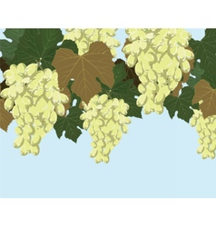 White grapes cluster vector