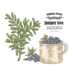 Juniper tree and rosemary cones ans vector