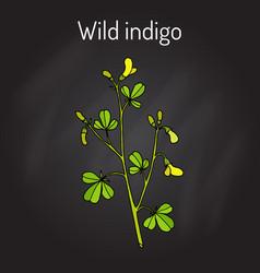 wild-indigo baptisia tinctoria  medicinal plant vector image