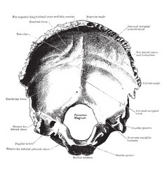 inner surface of the occipital bone vintage vector image vector image