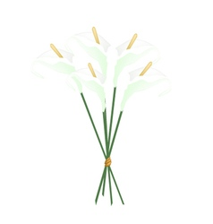White Anthurium Bouquet or Flamingo Bouquet vector image vector image