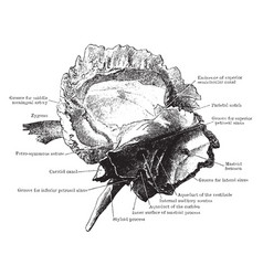 Inner surface of the temporal bone vintage vector