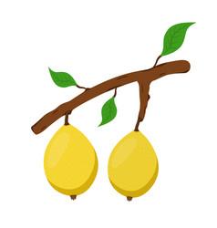Marula exotic fruit on branch fresh vegetarian vector