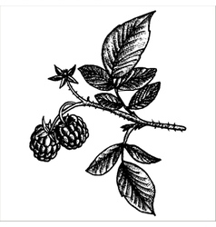 Hand drawn raspberry branch vector