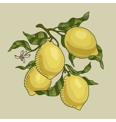 Lemon branch with fruit vector