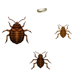 Bed bug life cycle vector image vector image
