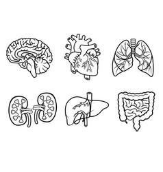 anatomy organs vector image