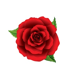 Red rose flower top view isolated on white vector image vector image