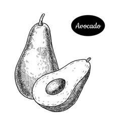 Hand drawn sketch style fresh avocado vector