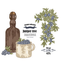 juniper tree and old bottle gin vector image