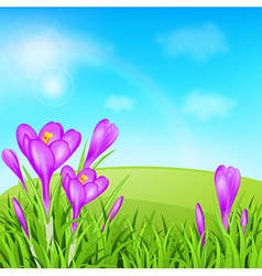Violet crocuses and green grass vector