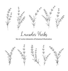 set of lavender flowers vector image