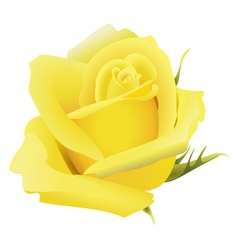 Yellow rose flower isolated vector image vector image
