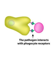 Innate immunity adaptive specific  phagocytosis vector