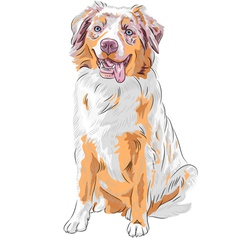 Dog red australian shepherd breed vector