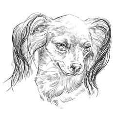 russian long-haired toy terrier hand drawing vector image