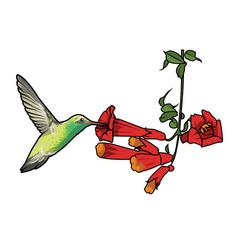 Hummingbird feeding vector
