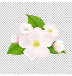 Apple tree flowers with transparent background vector