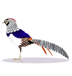Lady amherst pheasant bird vector