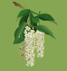 White flowers of bird-cherry tree and green leaves vector