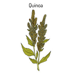 quinoa chenopodium quinoa superfood healthy plant vector image