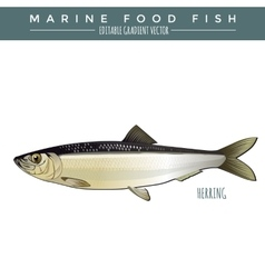 Herring marine food fish vector