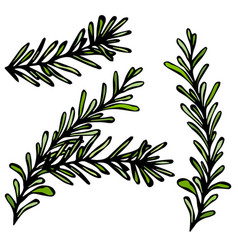 Fresh rosemary sprigs with leaves food and spice vector