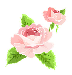 isolated pink rose flowers detailed drawing vector image