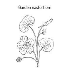 garden nasturtium tropaeolum majus or indian or vector image vector image