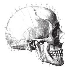 Side of the skull vintage vector