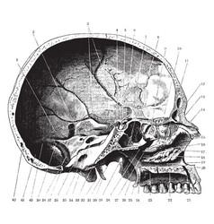 Skull seen from side vintage vector