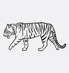 tiger mammal animal sketch vector image vector image