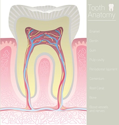 tooth medical anatomy with words vector image