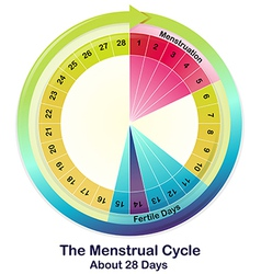 The menstrual cycle vector