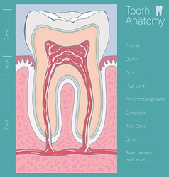 Tooth medical anatomy with words vector