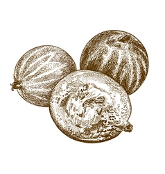 Engraving gooseberry vector