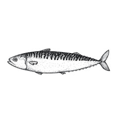 Mackerel fish hand drawn isolated icon vector