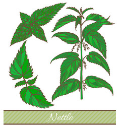 Hand drawn colored of nettle vector