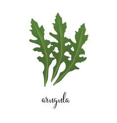 arugula green vector image vector image