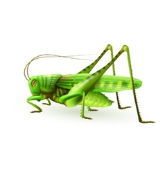 Grasshopper realistic isolated vector