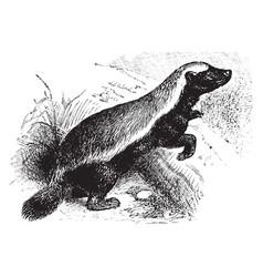 Honey badger vintage vector