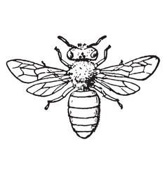Honey bee vintage vector