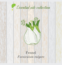 Pure essential oil collection fennel wooden vector