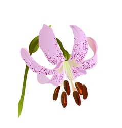 pink lily vector image vector image