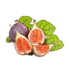 Figs watercolor imitation with sketch vector