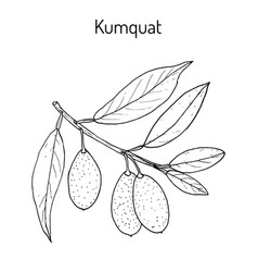 kumquat citrus japonica branch vector image